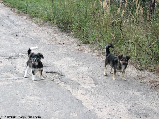 minsk_stepyanka_dogs