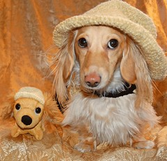 Twins (Doxieone) Tags: dog english hat toy doll crafts crochet cream dachshund honey final blonde aaa coll 999999 imade honeydog topfavorite englishcream hatondollphotoshoped honeyall