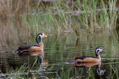 Goose Nettapus auritus