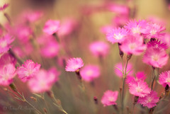 Melt Away (Proleshi) Tags: pink flowers flores flower 50mm pretty dof bokeh melt meltaway d300s 50mm14afs proleshi