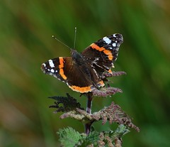 Red Admiral (Vanessa atalanta) (Gaz-zee-boh) Tags: ireland nature butterfly clare redadmiral nettle coclare stingingnettle vanessaatalanta inachisio d40 nikond40 almostanything naturewatcher liscannorbay
