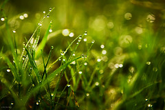 Early in the morning (-clicking-) Tags: lighting light macro green nature water beautiful grass leaves leaf dof natural bokeh drop sparkle canonef2470mmf28lusm sparkling grassy dews colorphotoaward 100commentgroup tripleniceshot