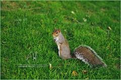 #23 Little squirrel's brother =P (Abdulla Attamimi Photos [@AbdullaAmm]) Tags: squirrel abdulla abdullaamm abdullahamm abdullah attamimi altamimialtamimi tamimi amm desamm abdullaammnet abdullaammcom photo photos photography photographic nikon d90 2008 2010