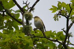 Willow Warbler Photo