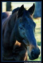 Cavalo ! (crenan) Tags: santa horse me rio d50 grande interesting nikon do calendar photos maria fast explore santamaria cavalos score cavallo cavalo sul blueribbonwinner ufsm d80 scoremefast cmeradeourobrasil aplusphoto crenan grupo1a10brasil visofotogrfica carlosrenanpiressantos
