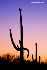 Saguaro Cactus at Twilight (Jeff Wignall) Tags: cactus silhouette photoshop twilight tucson shapes nikond70s saguaro wignall anawesomeshot oracleroad