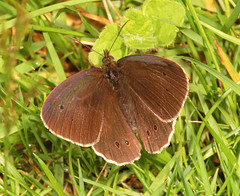 """Ringlet Butterfly (Aphantopus hyperan(8) • <a style=""""font-size:0.8em;"""" href=""""http://www.flickr.com/photos/57024565@N00/715045033/"""" target=""""_blank"""">View on Flickr</a>"""