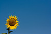 Girasole, Girasol, Sunflower (f0ff0) Tags: flowers españa flores rural spain pueblo catalonia girona sunflower olives catalunya fiori girasole cataluña girasol gerona montes agriturismo catalogna turismorural lesolives santestevedeguialbes federicofetto f0ff0