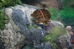 Southern Paint (turtlephotography) Tags: water canon turtle personalfavorite aquatic plastron southernpainted