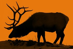 An Elk Evening (Jeff Clow) Tags: nature silhouette evening twilight bravo searchthebest dusk wildlife explore filter yellowstonenationalpark elk gettyimages blueribbonwinner jeffclow magicdonkey mywinners abigfave perfectangle artlibre anawesomeshot frhwofavs cjeffrclowandbevbclow theperfectphotographer frjrc