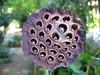 lotus 4 (Cyberfug) Tags: plants macro nature seedhead naturalmente nelumbonucifera nelumbium mieiocchi nelumbiumnucifera