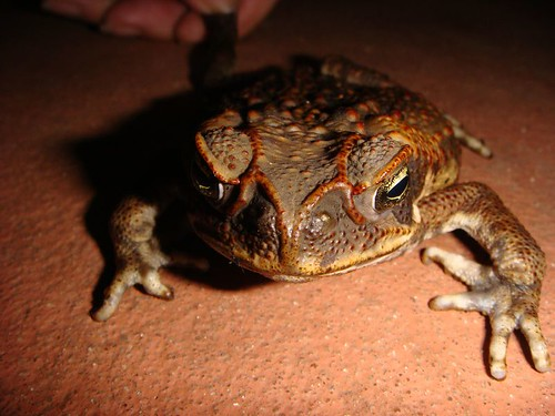 The poisonous King Toad