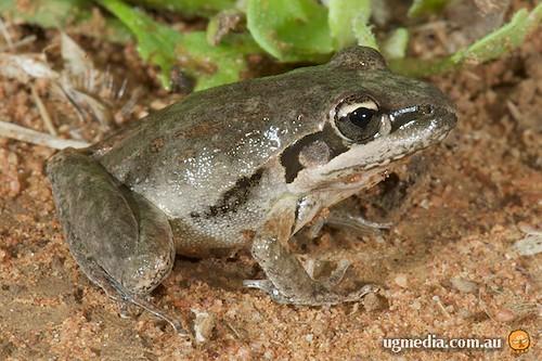 Broad-palmed rocket frog (Litoria latopalmata)