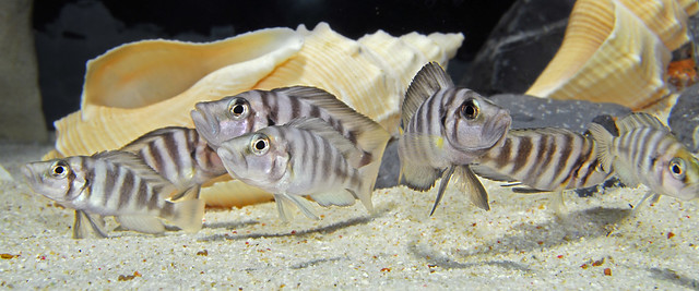 "Altolamprologus compressiseps ""Sumbu Shell"""