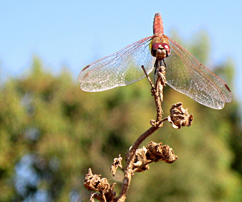 02-11-2010-dragonfly4