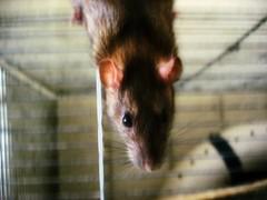 rat_race