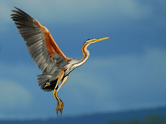 Gara Vermelha / Purple Heron (jvverde) Tags: bird portugal heron nature birds inflight natureza birdsinportugal avesemportugal aves ave isidro pssaros gara garas herons aveiro avifauna purpleheron ardeapurpurea garavermelha emvoo estarreja salreu