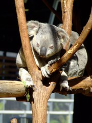 Just Hanging (End of Level Boss) Tags: cute animal australian australia koala qld queensland lou marsupial australiazoo 2007  coala    koaala     koal      hayopngkoala  gingaithucchu