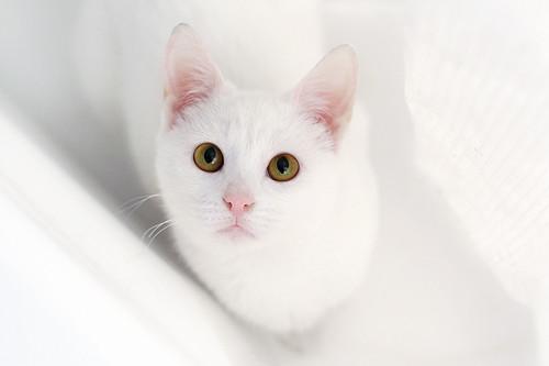 gambar kucing putih yang comel