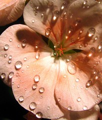 Rainy Night in Georgia * (milomingo) Tags: pink light summer flower texture nature closeup contrast garden botanical droplets petals drops shadows oneofakind peach center sphere refraction waterdrops geranium elegance aclass fantasticflowers fantasticflower flowerpicturesnolimits jeannysfoto anawesomecloseup plantsinmacro naturenolimits
