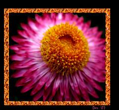 For Cherish (Dar's Foto Madness) Tags: pink orange flower macro closeup dof framed dar 2007 pinkalicious anawesomeshot forcherish darsfotomadness