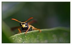 avispa-22 (Xavi GM) Tags: naturaleza insectos macro nature canon insect 5d macros wasps avispas macrophoto insecto macrophotography avispa macrofotografia naturesfinest xafer