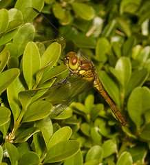 "Female Common Darter Dragonfly (Sympetrum striolatum) • <a style=""font-size:0.8em;"" href=""http://www.flickr.com/photos/57024565@N00/1195693653/"" target=""_blank"">View on Flickr</a>"
