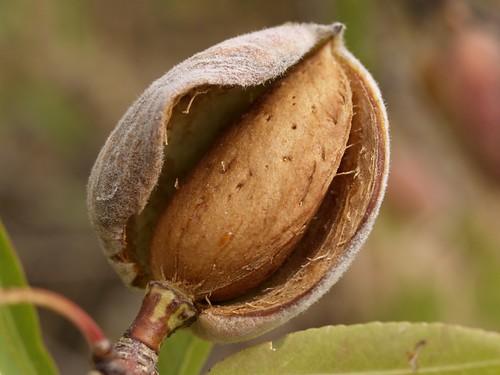 Fructul si simburele de Migdal
