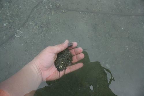 在水中輕晃,把泥沙漂洗掉