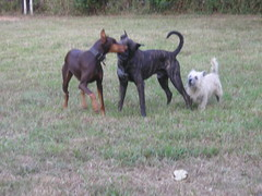 Smooch (kathystrm) Tags: playing dogs yard jack outside outdoors kitty terrier jed boxer bone doberman rib cairn