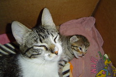16 days old (Mel1st) Tags: cat kat chat gata neko katze macska kot kats kedi koshka katt kato kissa kon meo ronronovisky paka kocka fato macka feles pussi negru chatul popoki qit kutjing miston maaoh mist mickinha mickinhababies