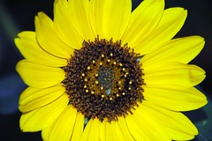 Shiny happy flower (shmemmett) Tags: flower yellow petal sunflower anawesomeshot diamondclassphotographer flickrdiamond