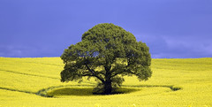 Tree in a Field of Yellow (wentloog) Tags: uk sky sun tree field yellow wales sunrise canon landscape eos dawn countryside interestingness gallery britain cymru cardiff explore caerdydd lone 5d lonely agriculture frontpage wfc oilseed canoneos5d explored wentloog welshflickrcymru stevegarrington world100f michaelstoneyfedw