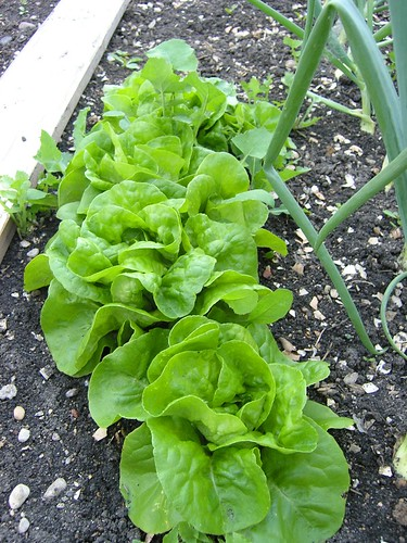 Lettuce in situ.