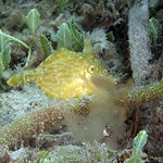 IMG_5472are Planehead Filefish (Stephanolepis hispidus) thumbnail