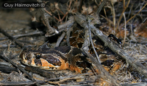 Adult Israeli Viper (Vipera Palaestinae) צפע ארצישראלי - Waiting For Prey To Come By - לוכד נחשים