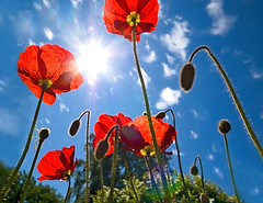 towards the sun (Henri Bonell) Tags: light summer sky sun poppy poppies soe papaver excellence peopleschoice killerbee blueribbonwinner supershot outstandingshots anawesomeshot ultimateshot superbmasterpiece beyondexcellence goldenphotographer diamondclassphotographer superhearts theunforgettablepictures thatsclassy votedthebest colourartaward artlegacy theroadtoheaven flickrestrellas