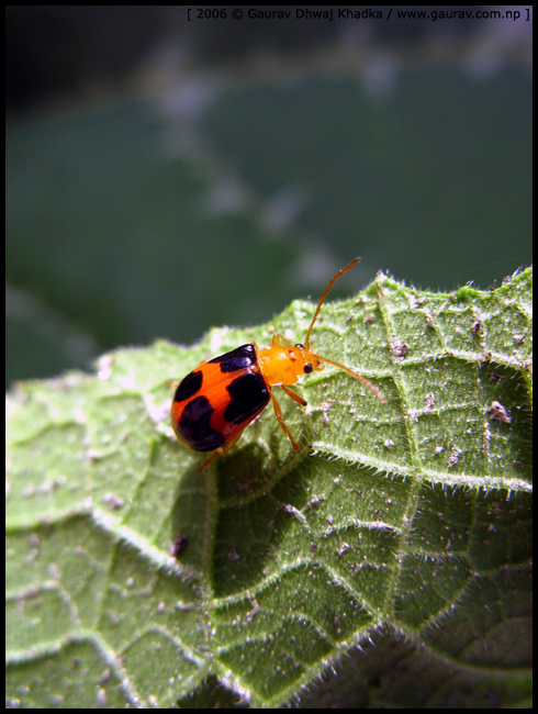 Bug - Leaf Beetle