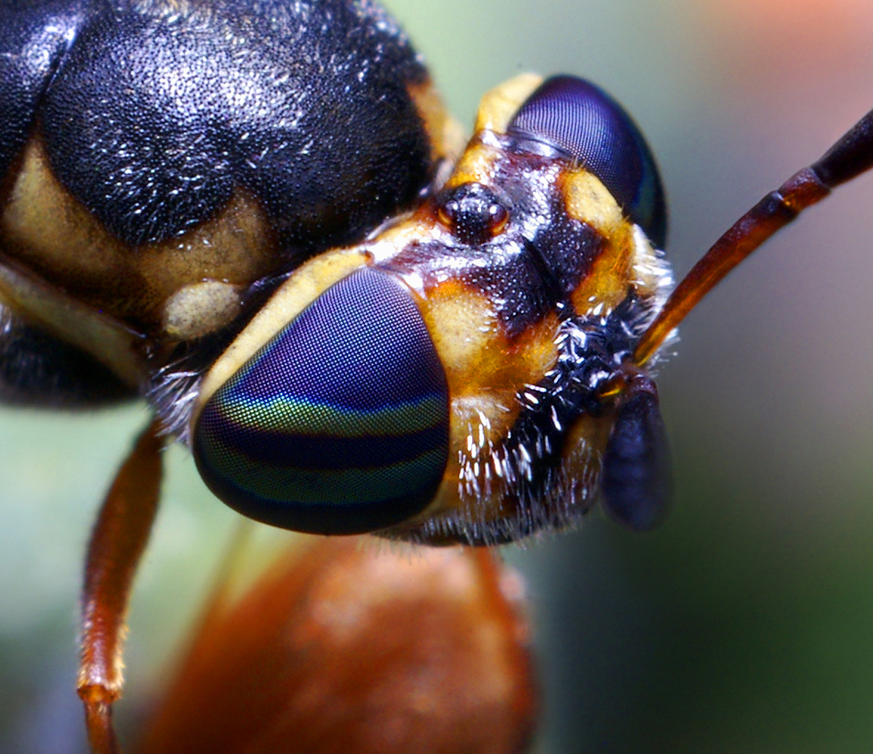 Bug close-up: Bizarre Fly Head
