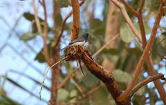 leaden flycatcher (Sun Spiral) Tags: travel bird nature june australia nikond50 kakadu myiagrarubecula leadenflycatcher