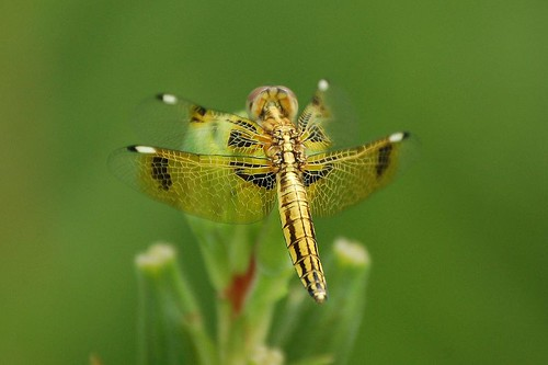 Yellow Dragon Fly