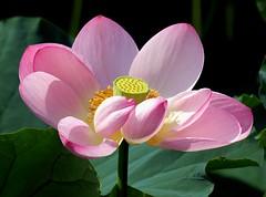 蓮 / Lotus