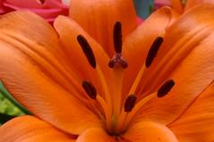 IMG_1418 (pedro vit) Tags: orange flower macro closeup bigmomma flowerotica challengeyouwinner ltytr2 ltytr1