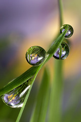 Flower dewdrop refraction #1 (Lord V) Tags: flower macro water dewdrop refraction focusstack supershot mywinners superbmasterpiece diamondclassphotographer alemdagqualityonlyclub