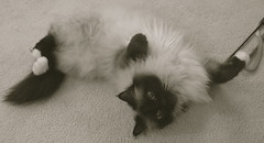 Wiped-Out Remmy (~ Liberty Images) Tags: silly cute canon furry kitten feline funny soft fuzzy sweet kitty fluffy kittens powershot lazy tummy paws a80 beloved remington lazycat birman moggie remmy muchbeloved tummycat