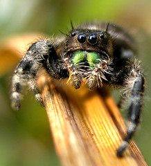 Jumping spider (stormahawk) Tags: macro nature spider jumping bravo shots group amelie faves 35 watcher outstanding the poulain naturesfinest flickrtastic 25faves mywinners fivestarsphotograph themacrogroup