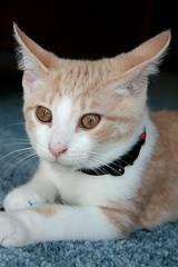 Frankie with Blue Feathers (Elkay 724) Tags: pet cats pets cute beautiful cat catwomen ginger eyes kitten feline sweet tabby cream kitty gato kitties buff meow creamsicle bufftabby buffcoloredcats