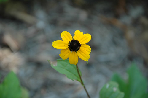 Three-lobed Coneflower (Rudbeckia triloba)