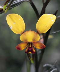 side of the road 3 (dalinean) Tags: wild orchid flower macro donkey australia wa wildflower westaustralia donkeyorchid