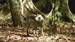 19 propalaeotherium